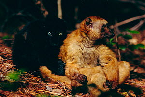 Sclater's black lemur, male female pair, colour variation {Lemur macaco flavifrons}  -  Lynn M Stone