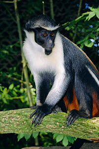 Diana monkey female {Cercopithecus diana} captive occurs West Africa  -  John Waters