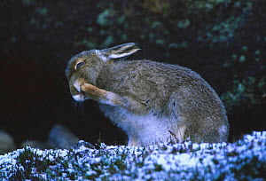 Mountain hare grooming foot {Lepus timidus} coat changing colour in winter. Scotland, UK  -  Brian Lightfoot