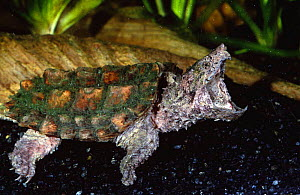 Alligator snapping turtle with mouth open {Macroclemys temmincki} Florida, USA  -  Barry Mansell