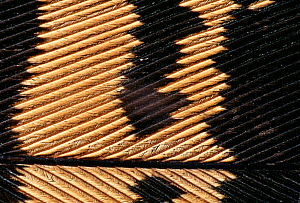 Great bustard bird feather detail {Otis tarda} - Jose B. Ruiz