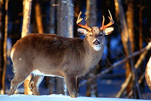 Male Whitetail deer in snow {Odocoileus virginianus} Anticosta Is, Quebec  -  Louis Gagnon