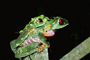 Red eyed treefrogs in amplexus {Agalychnis callidryas} female swollen with water. Panama  -  Neil Bromhall