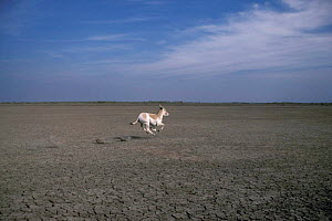 Indian wild ass racing across landscape {Equus hemionus khur} Little Rann of Kutch - Anup Shah