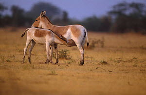 Indian wild ass suckling foal {Equus hemionus khur} Little Rann of Kutch Gujarat - Anup Shah