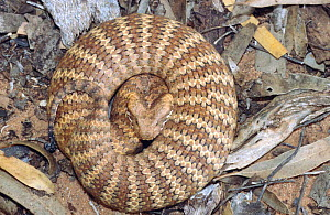 Southern death adder, male subadult in threat pose, {Acanthophis antarcticus}  -  Robert Valentic