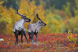 Caribou (Rangifer tarandus) mother with calf, Flatruet, Sweden  -  Heike Odermatt