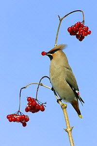Bohemian Waxwing (Bombycilla garrulus) feeding on the berries of a Guelder Rose (Viburnum opulus), Lower Saxony, Germany  -  Duncan Usher