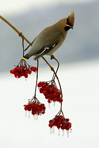 Bohemian Waxwing (Bombycilla garrulus) perched on a Guelder Rose (Viburnum opulus), Lower Saxony, Germany  -  Duncan Usher
