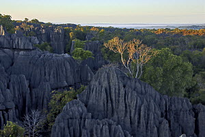 View over the tsingy rock formations and the surrounding dry deciduous forest, Tsingy de Bemaraha National Park, Madagascar  -  Vincent Grafhorst