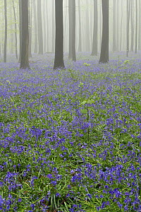 English Bluebell (Hyacinthoides nonscripta) flowering in foggy forest, Brussels, Belgium  -  Silvia Reiche