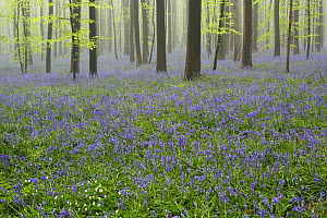 English Bluebell (Hyacinthoides nonscripta) flowering in forest, Brussels, Belgium  -  Silvia Reiche