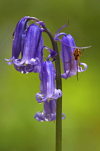 English Bluebell (Hyacinthoides nonscripta) flowers with hanging spider, Brussels, Belgium  -  Silvia Reiche