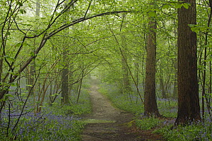 English Bluebell (Hyacinthoides nonscripta) flowering in forest near path, Brussels, Belgium  -  Silvia Reiche