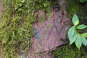 Spectacled Bear (Tremarctos ornatus) claw marks on cloud forest tree, Andes Mountains, Mindo, Ecuador  -  James Christensen