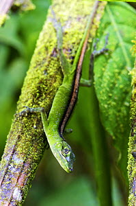 O'Shaughnessy's Anole (Anolis gemmosus) female, western slope of Andes, Mindo Cloud Forest, Ecuador  -  James Christensen