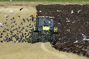 Common Starling (Sturnus vulgaris) flock and gulls following tractor ploughing field in autumn, Northumberland, England  -  Duncan Usher