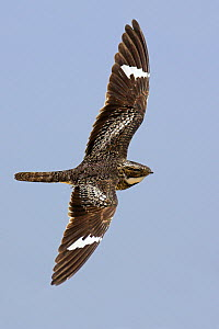 Common Nighthawk (Chordeiles minor) male in display flight, Winnie, Texas  -  Jan Wegener