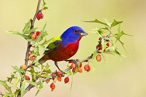 Painted Bunting (Passerina ciris) male perched on branch with berries, Austin, Texas  -  Jan Wegener