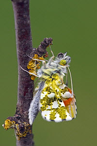 Orange Tip (Anthocharis cardamines) butterfly just after emerging from chrysalis, Hoogeloon, Noord-Brabant, Netherlands  -  Silvia Reiche