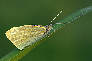 Cabbage Butterfly (Pieris brassicae) on leaf, Hoogeloon, Noord-Brabant, Netherlands  -  Silvia Reiche