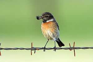 Common Stonechat (Saxicola torquata) female on barbed wire with food in its bill, Alentejo, Portugal  -  Duncan Usher