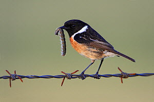 Common Stonechat (Saxicola torquata) male on barbed wire with caterpillar prey, Alentejo, Portugal  -  Duncan Usher