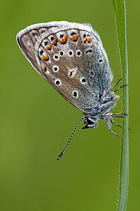 Common Blue (Polyommatus icarus) butterfly resting on grass, Eifel, Germany  -  Silvia Reiche