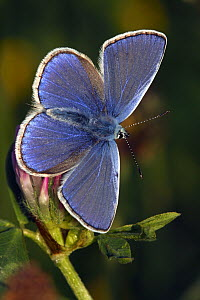Common Blue (Polyommatus icarus) butterfly with open wings, Eifel, Germany  -  Silvia Reiche