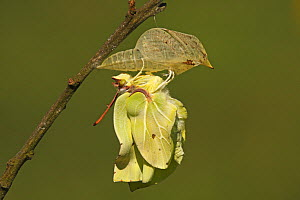 Brimstone (Gonepteryx rhamni) drying its wings after emerging from chrysalis, Eifel, Germany. Sequence 14 of 17  -  Silvia Reiche