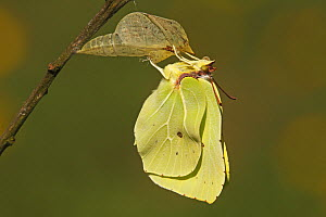 Brimstone (Gonepteryx rhamni) drying its wings after emerging from chrysalis, Eifel, Germany. Sequence 15 of 17  -  Silvia Reiche