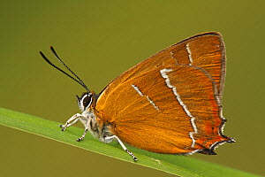 Brown Hairstreak (Thecla betulae) butterfly resting on blade of grass, Netherlands  -  Silvia Reiche