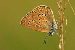 Alcon Blue (Maculinea alcon) butterfly resting on grass, Neterselse Heide, Noord-Brabant, Netherlands  -  Silvia Reiche
