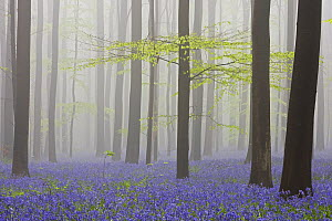 English Bluebell (Hyacinthoides nonscripta) carpet in the European Beech (Fagus sylvatica) forest, Halle, Brussels, Belgium  -  Heike Odermatt