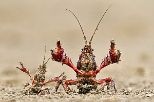 Striped Crayfish (Orconectes limosus) pair in defensive posture, Donana National Park, Seville, Andalucia, Spain  -  Jasper Doest