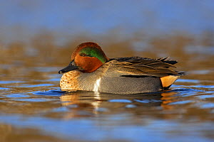 Green-winged Teal (Anas carolinensis) drake resting on the water in the late evening light, Vancouver, British Columbia, Canada  -  Jan Wegener