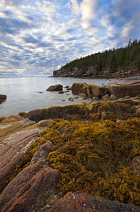 Seaweed-covered rocks at the coast, Acadia National Park, Maine  -  Vincent Grafhorst