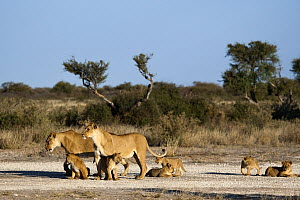 African Lion (Panthera leo) lionesses with cubs, Khutse Game Reserve, Botswana  -  Vincent Grafhorst