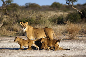 African Lion (Panthera leo) lioness with cubs, Khutse Game Reserve, Botswana  -  Vincent Grafhorst