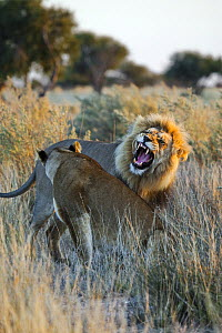 African Lion (Panthera leo) male growling at lioness, Khutse Game Reserve, Botswana  -  Vincent Grafhorst