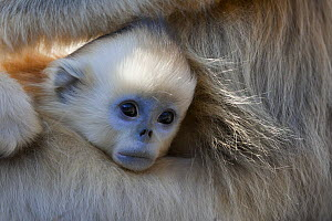 Golden Snub-nosed Monkey (Rhinopithecus roxellana) infant poking its head out from under mother's arm, Qinling Mountains, China  -  Stephen Belcher