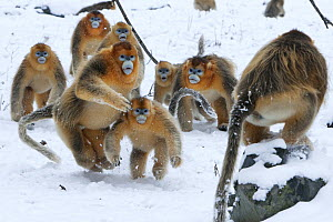 Golden Snub-nosed Monkey (Rhinopithecus roxellana) male with juvenile in the snow running towards another on a rock, Qinling Mountains, China  -  Stephen Belcher