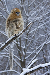 Golden Snub-nosed Monkey (Rhinopithecus roxellana) female on snow-covered tree branch, Qinling Mountains, China  -  Stephen Belcher