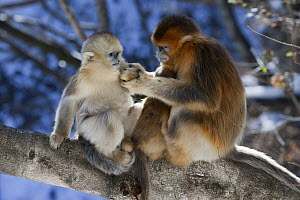 Golden Snub-nosed Monkey (Rhinopithecus roxellana) young male and juvenile, Qinling Mountains, China  -  Stephen Belcher