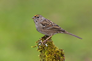 Golden-crowned Sparrow (Zonotrichia atricapilla) perched on mossy branch, Vancouver Island, Canada  -  Jan Wegener