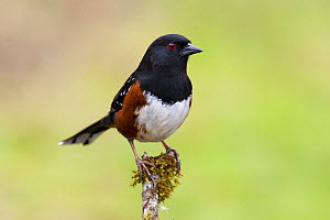 Spotted Towhee (Pipilo maculatus) perched on mossy branch, Vancouver Island, Canada  -  Jan Wegener