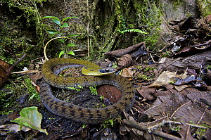 Black-naped Forest Racer (Dendrophidion nuchale) on the west slope of the andes, Mindo, Pichincha, Ecuador  -  James Christensen