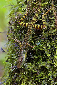 Equatorial Anole (Anolis aequatorialis) camouflaged on mossy tree trunk, Mindo, Pichincha, Ecuador  -  James Christensen