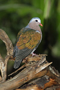 Emerald Dove (Chalcophaps indica) male, Lower Saxony, Germany  -  Duncan Usher
