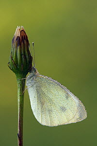 Cabbage White (Pieris rapae) covered in dew droplets resting on flower bud, Pruggern, Styria, Austria  -  Silvia Reiche